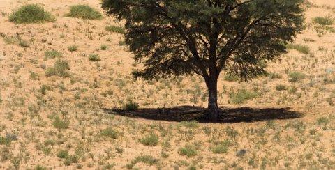 cheetah lying under tree, kalahari