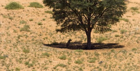 cheetah sitting under tree, kalahari