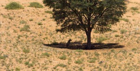 cheetah sitting under tree, kalahari