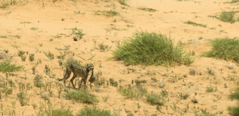 cheetah with ostrich kill