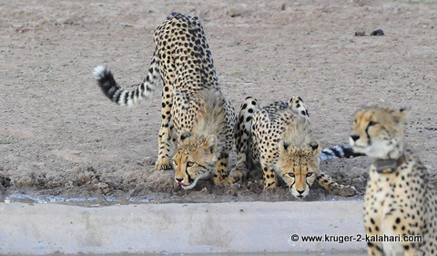 cheetah mom with cubs in the Kgalagadi