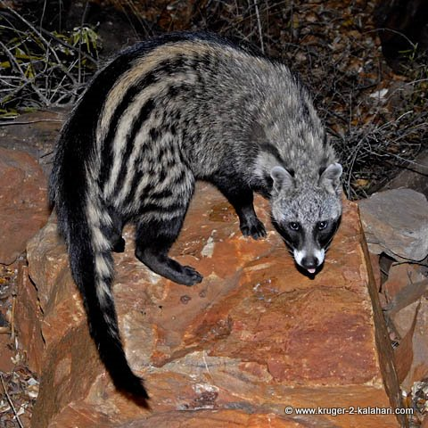 Image of: Eyes African Civet Kruger To Kalahari The Elusive Eleven