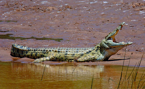 Crocodile on the Luvuvu river