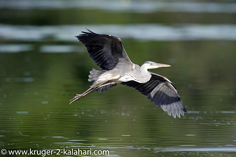 grey heron at Lake Panic Kruger Park