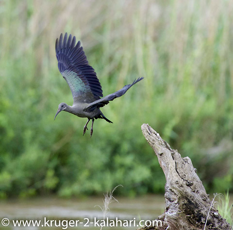 Hadeda Ibis in flight