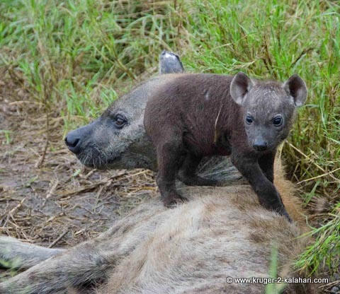 hyena pup at den with mother