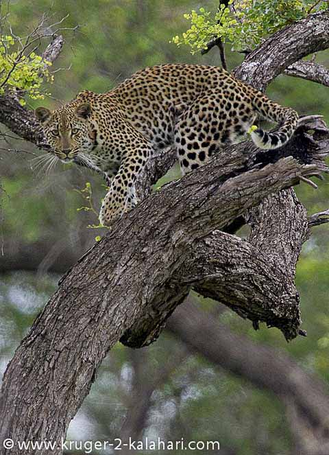 leopard in tree in kruger park