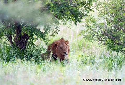 lion under bush