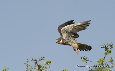 Amir falcon in Kruger park