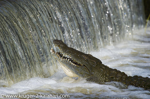 Crocodile at Shingwedzi low-level bridge