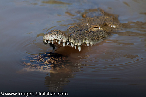Crocodile with leopard tortoise