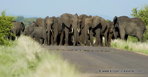 herd of elephants blocking road