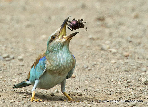 European Roller with dung beetle