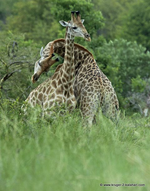 necking giraffe