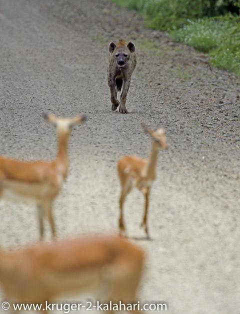 hyena approaching herd of impala