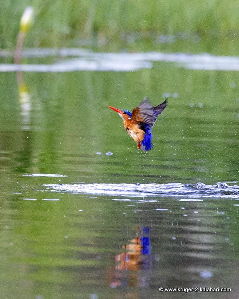 malachite kingfisher at lake panic
