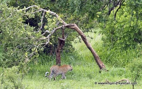 leopard near Mlondozi dam Kruger park
