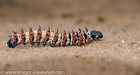 mopani worm crossing road