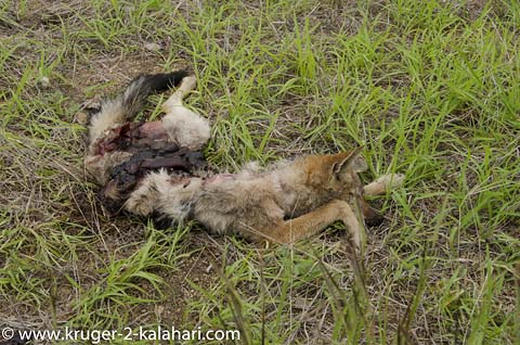 blackbacked jackal roadkill