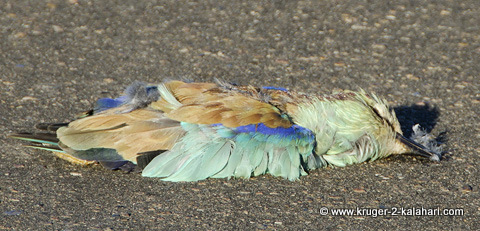 European roller roadkill