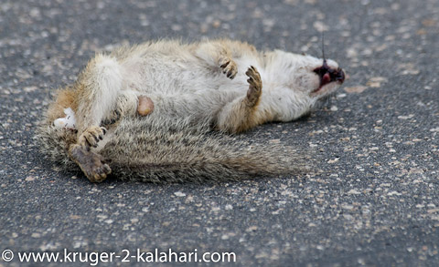 Squirrel road kill in kruger park