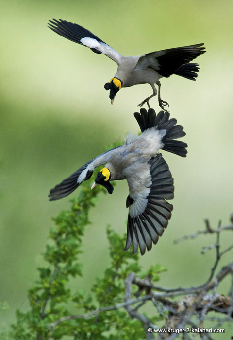 wattled starlings fighting