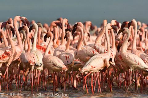 lesser flamingos Tanzania