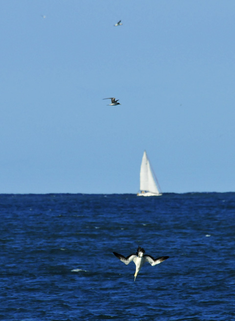 Gannet diving for sardines