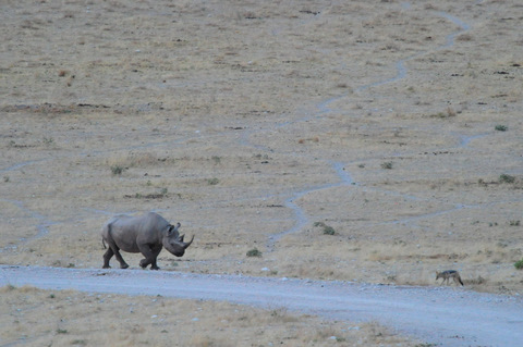 Black rhino at Dolomite camp