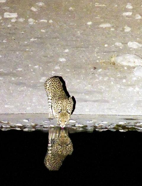 Cheetah drinking at Dolomietpunt waterhole