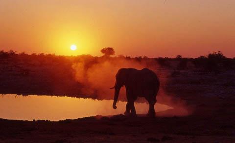 Elephant at Okaukuejo waterhole, Etosha