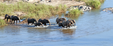 Elephants crossing Olifants River