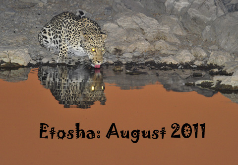 Leopard drinking at Moringa waterhole in Etosha