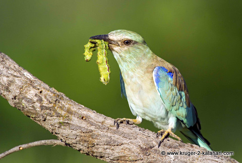 European roller with worm