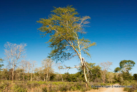 Fever tree in Kruger Park