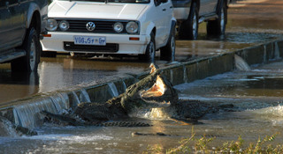 Fighting crocodiles, shingwedzi river, kruger park