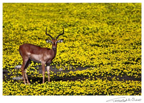 black-faced impala in Etosha