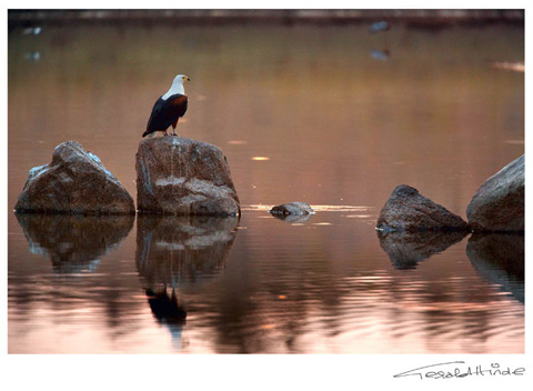 fish eagle at sunset