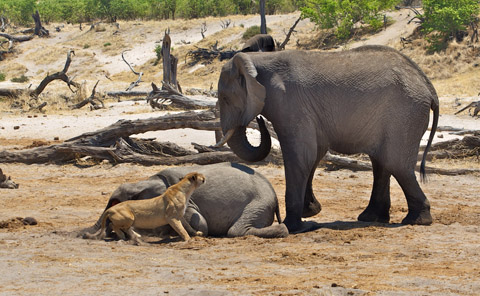 lioness and elephant interaction