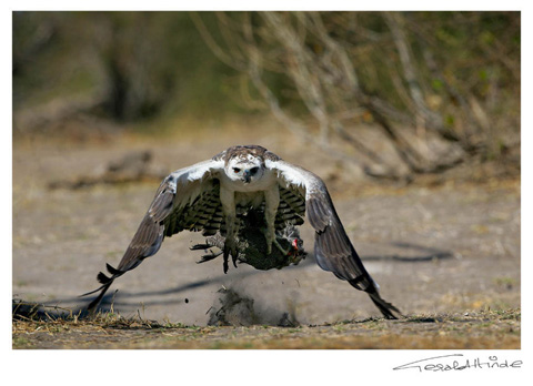 Martial eagle snatching guinea-fowl