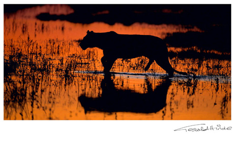 lioness crossing river at sunset