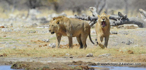 male lions at Goas waterhole