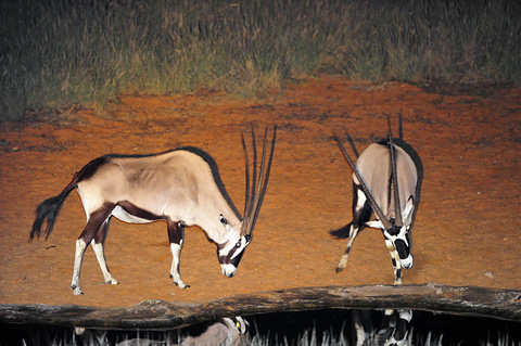 gemsbok at Gharagab waterhole