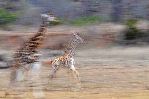 giraffe pan