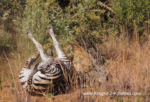 zebra and lioness battle to the end
