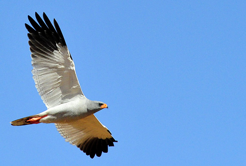 Pale chanting Goshawk at Gharagab