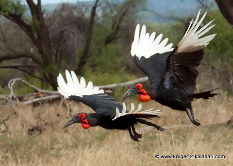 Ground Hornbills in flight