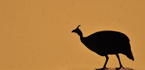 guinea fowl silhouette at Moringa waterhole in etosha