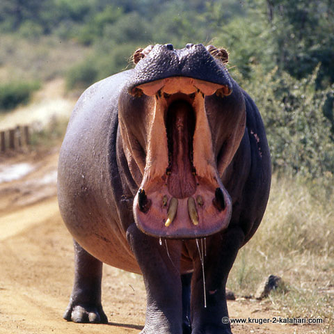 angry hippo