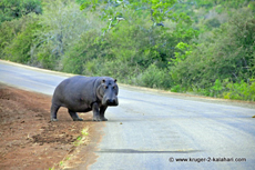 Hippo near Olifants camp
